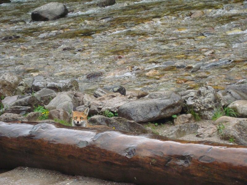 Chodzi lisek koło szlaku