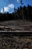 Wycinka i sadzenie drzew w TPN